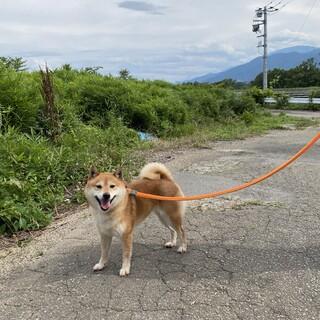 柴犬 6歳 女の子 ヤエちゃん