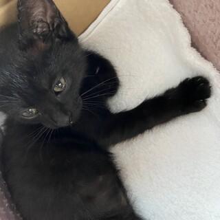 生後2ヶ月程度の黒ネコちゃん♂