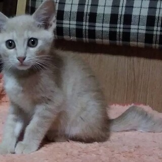 ベージュ色の珍しい虎猫八雲☆