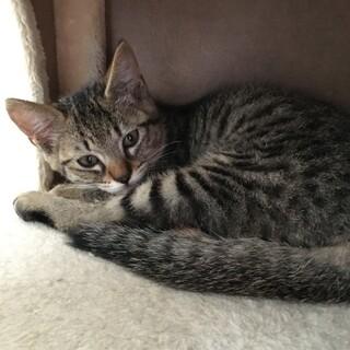 撫でられるの大好きキジ子猫男の子2.5ヶ月