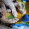 多指症の三毛猫ミケちゃん♀ サムネイル6
