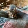 いまいち慣れていませんが可愛いキジ猫の女の子♪ サムネイル5