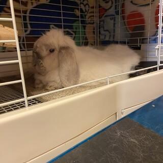 大きいウサギさんです!