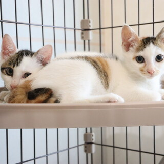 里親様募集!可愛い子猫の姉妹です