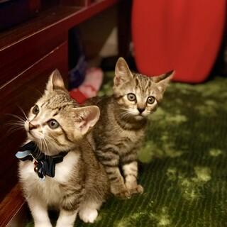【緊急募集】犬のように人懐っこい兄妹猫