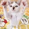 可愛いトビ三毛、やんちゃ子猫ぎゃんこちゃん