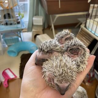 ハリネズミの赤ちゃん♂2匹です