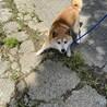 柴犬 6歳 女の子 イセちゃん サムネイル5