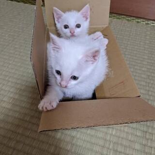 可愛い白猫兄弟 猫エイズ、白血病陰性