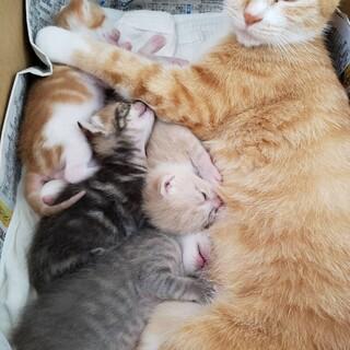 茶トラ+子猫(親猫+子猫)