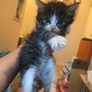ふわふわ子猫 長毛キジシロ キジトラ