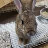 メスのミニウサギ