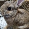 メスのミニウサギ サムネイル2