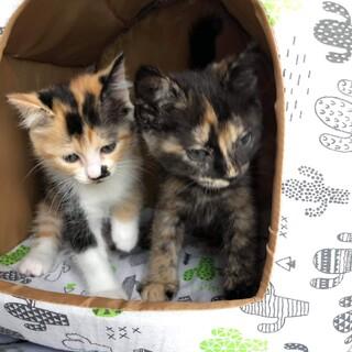 濃い目の柄が魅力的なサビとミケの姉妹猫