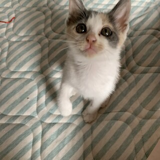 元気な三毛猫