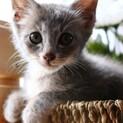 ピノ♡とってもきれいでおとなしいグレーの子猫