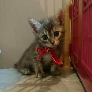 生後1ヶ月の可愛い子猫たち、兄弟妹で譲渡希望
