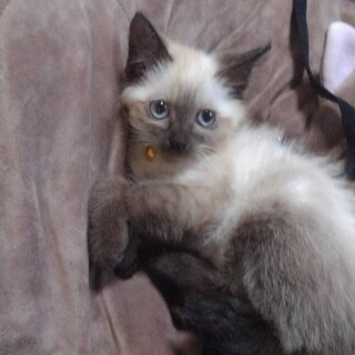 可愛いシャムの子猫