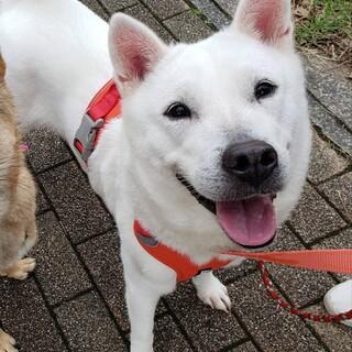 紀州犬♀️百合 推定3歳