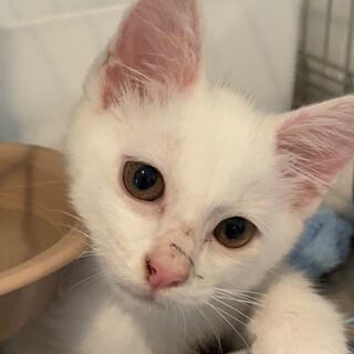 白い仔猫♂3か月くらい