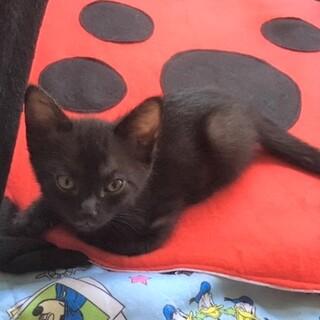 気づくと側にいる甘えん坊な黒猫2ヶ月★マサくん