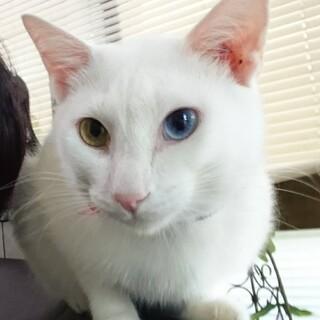 オッドアイ白猫たまちゃん♂
