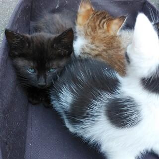 子猫(2ヶ月程度)の里親