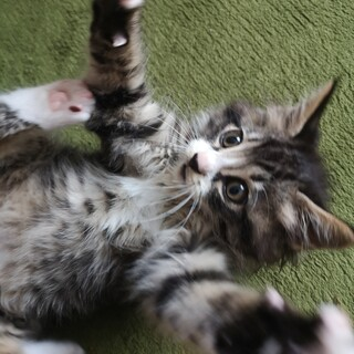 おそらくメインクーン!!!!の子猫です。