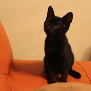 超甘えん坊 ★ 黒猫めい君 3か月