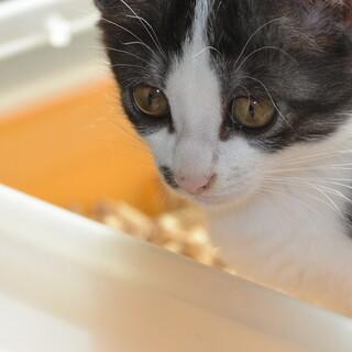 生後2か月の人懐こいかわいい子ネコを保護しました!