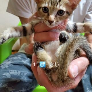 25匹 生後2ヶ月の子猫です①