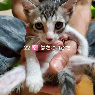 25匹 生後2ヶ月の子猫です④