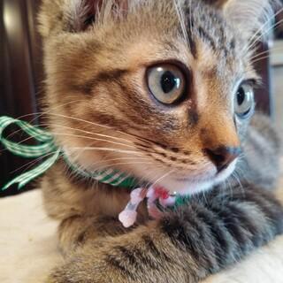 鼻茶のキジ猫カール君2ヶ月