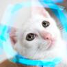 2ヶ月♡甘えん坊不思議な瞳の白猫♂アポロン