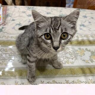 目がパッチリの可愛い鯖トラの女の子猫