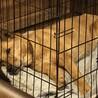 穏やかな紀州犬MIX昭和なソワカちゃん サムネイル4