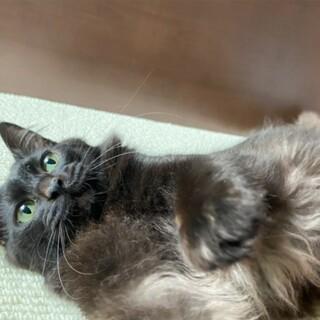 モフモフ黒猫の美猫くん