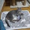 レアカラーなグレーサビ系♂美猫『グレーテル☆』