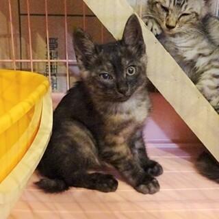 風邪の治療中 ブラックスモークの子猫です