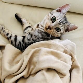 1歳半血統書つきベンガル猫の里親募集