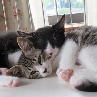 可愛い〰キジトラ、ハチワレの姉妹