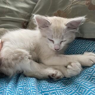 生後2ヶ月❤︎甘えん坊の仔猫(メス)ちゃん