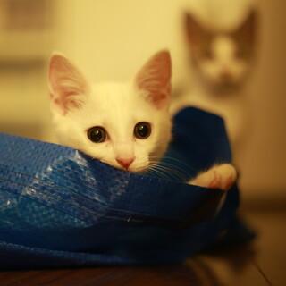 白猫ネリちゃん、元気いっぱいな女の子です!