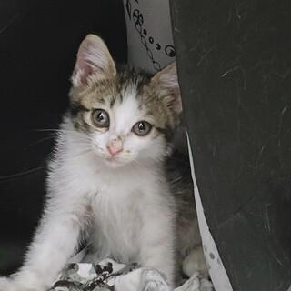生後2ヶ月半〜3ヶ月の甘えた子猫ちゃん♪