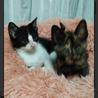 可愛いハチワレ子猫 サムネイル2