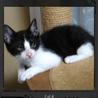 可愛いハチワレ子猫 サムネイル3