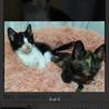 可愛いハチワレ子猫 サムネイル4
