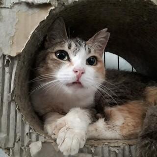幸せを運ぶ猫!?多指症の三毛猫ミケちゃん♀