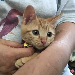 人好き猫好き茶トラ系子猫6匹兄妹。