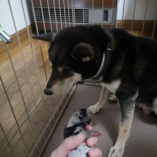 柴犬×ミニチュアダックス 子犬